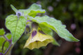 Flower Of Physalis (Physalis Peruviana) Also Called Cape Goosebe Royalty Free Stock Photo - 78743575