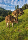 Brown Cows In An Alpine Meadow Stock Photo - 78750240