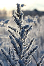 Branch Plant Covered With Snow Winter Macro Royalty Free Stock Photography - 78769057