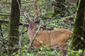 Velvet Whitetail Deer Buck In Cades Cove GSMNP Royalty Free Stock Photos - 78801648