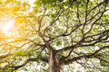 Mighty Old Tree With Branches And Bright Sunlight Stock Images - 78817584