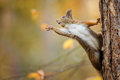 Squirrel Eagerly Reaching For What She Want Most Royalty Free Stock Images - 78892429