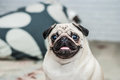 Happy Dog. Portrait Of A Pug. Pleased Muzzle. Happy Pug. Dog Smile. A Dog With His Tongue Hanging Out. A Dog In The Apartment. Stock Images - 78915314