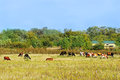 Cow And Calves Near The House Royalty Free Stock Images - 78917389