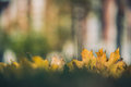 Yellow Autumn Maple Leaves On Green Grass. Bokeh Blurred Artistic Background Royalty Free Stock Photos - 78921598