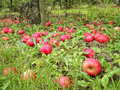 Red Ripe And Rotten Apples Under The Tree In English Orchard Stock Image - 78929921