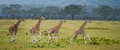 Four Baby Giraffe Running Across The Savannah. Close-up. Kenya. Tanzania. East Africa. Royalty Free Stock Photo - 78930935