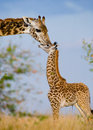Female Giraffe With A Baby In The Savannah. Kenya. Tanzania. East Africa. Stock Photos - 78933803