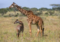 Female Giraffe With A Baby In The Savannah. Kenya. Tanzania. East Africa. Royalty Free Stock Photos - 78934758