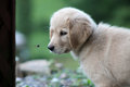 Golden Retriever Puppy With Bug Stock Photography - 78949802