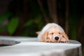 Funny Golden Retriever Labrador Puppy Lying Stretched At Poolside Royalty Free Stock Images - 78995949