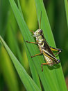 Grasshopper Royalty Free Stock Images - 790349