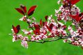 Bloomig Cherry Tree Royalty Free Stock Image - 790926
