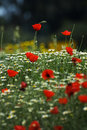 A Field Of Spring Flowers (shallow Depth Of Field) Stock Image - 798891