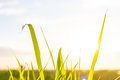Green Grass And Grass Flowers On The Field With Flare Light. Stock Photos - 79059753