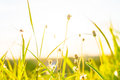 Green Grass And Grass Flowers On The Field With Flare Light. Royalty Free Stock Photos - 79059798