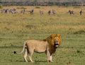 Big Male Lion With Gorgeous Mane Goes On Savanna. National Park. Kenya. Tanzania. Maasai Mara. Serengeti. Stock Photo - 79068980