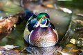 Wood Duck Male. Stock Photo - 79136530