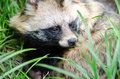 Cute Portrait Of Raccoon Dog Royalty Free Stock Images - 79142379