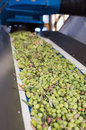 Conveyor Belt With Ripe Olives On Olive Oil Factory Royalty Free Stock Photography - 79166677