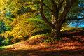 Magic Autumn Landscape With Colorful Fallen Leaves, Old Tree In The Golden Forest (harmony, Relaxation - Concept) Stock Photography - 79173792