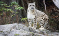 Snow Leopard Royalty Free Stock Photo - 79198915