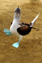 Blue-footed Booby Royalty Free Stock Photo - 7920965