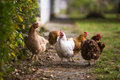 Chickens Stock Photography - 79217562