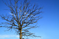 Dead Oak Tree With Dry Branches Stock Photo - 79237750