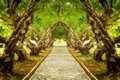 Plumeria Tree Tunnel Royalty Free Stock Images - 79245279
