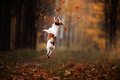 Dog Jack Russell Terrier Jump Over The Leaves Royalty Free Stock Photography - 79328247