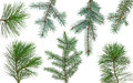 Christmas Tree Branch Royalty Free Stock Photo - 79361115
