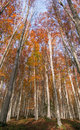 High Beech Trees Stock Images - 79399194