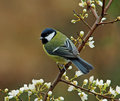 Great Tit In Springtime Royalty Free Stock Photography - 7942857