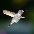 Hummingbird Stock Photo - 79436370