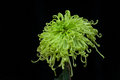 Chrysanthemum Stock Photography - 79464162