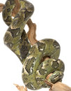 Madagascar Tree Boa Stock Image - 7959891