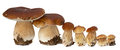 Family Of White Porcini. Wild Foraged Mushroom Selection Isolated On Background, With Shadow. Boletus Edulis Mushrooms Royalty Free Stock Image - 79513326