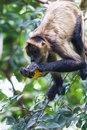 Black Handed Spider Monkey - Ateles Geoffroyi Stock Images - 79516554