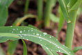 A Close Up Of Dew Water Droplet On A Green Corn Leaf. Stock Photography - 79575172