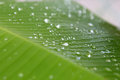 Musa Sp. Banana Leaf With Water Droplet Drop Dew Royalty Free Stock Photos - 79575228