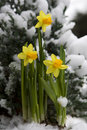 Yellow Daffodil In The Snow Royalty Free Stock Photography - 7968867