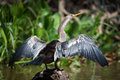 Anhinga Spreading Wings On Rock In Water Stock Photos - 79621803