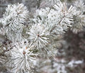 Coniferous Branches Covered With Hoarfrost Stock Photo - 79634160