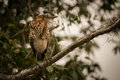 Rufescent Tiger Heron Perched On Diagonal Branch Stock Image - 79636801