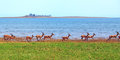 Large Herd Of Impala Run Along The Shore Of Lake Kariba Stock Image - 79639521