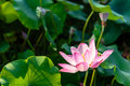Lotus And The Lotus Leaf Royalty Free Stock Photography - 79655367