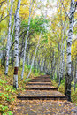 The White Birch Forest And Wood Path Royalty Free Stock Photos - 79664418