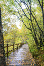 The White Birch Forest And Wood Path Stock Images - 79669364