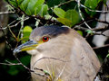 Black Crowned Night Heron Royalty Free Stock Photography - 79684607